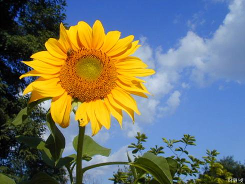 040929_sunflower.jpg